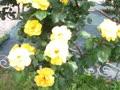 フラワーガーデンの薔薇
