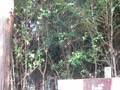 つばき園でホーホケキョ